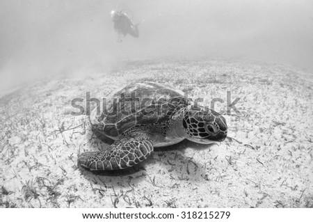 Sea Turtle #318215279