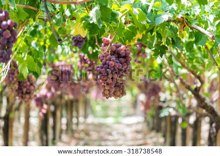 "Dessert Grape, ripe and ready for harvest. Variety ""uva Italia"". Natural light, picture taken in september in Sicily, near the town of Agrigento."