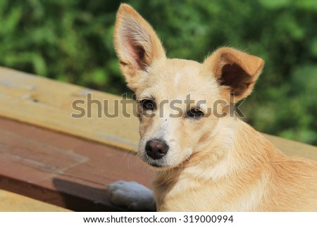 close-up portrait of the little red dog on the porch in the summer garden #319000994