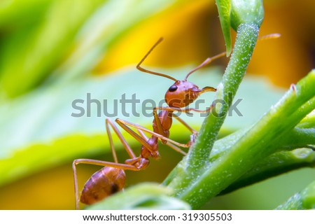 Red fire ant worker on tree, closeup