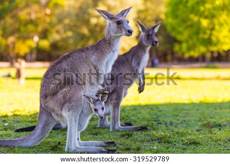 Kangaroo Mother and Baby in Pouch
