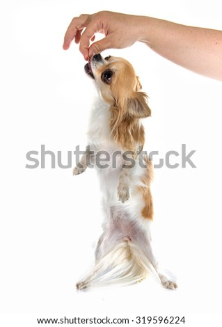 puppy chihuahua in front of white background #319596224