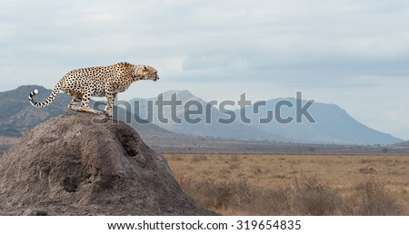 Wild african cheetah, beautiful mammal animal. Africa, Kenya #319654835