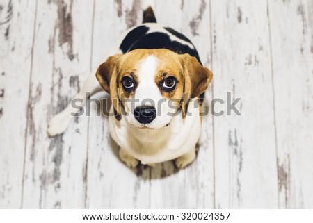 Tricolor beagle sitting on vintage-looking floor looking into camera  #320024357