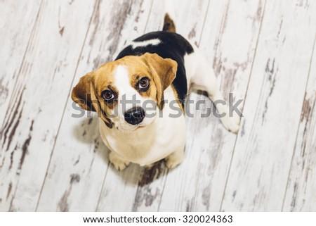 Tricolor beagle sitting on vintage-looking floor looking into camera  #320024363