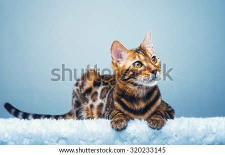 Beautiful stylish Bengal cat. Animal portrait. Bengal cat is lying. Blue background. Collection of funny animals Royalty-Free Stock Photo #320233145