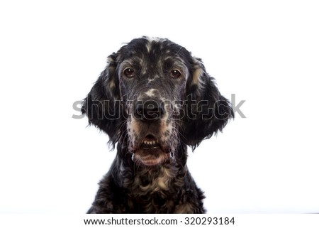 dog portrait, English setter  #320293184