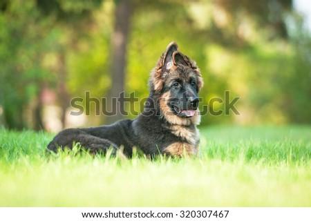 German shepherd dog lying in the yard #320307467