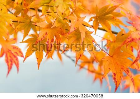 Branch with vibrant orange sweetgum leaves Royalty-Free Stock Photo #320470058