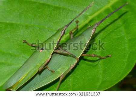 A mating pair of green grasshopper on leaf #321031337