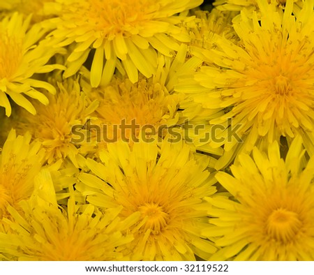 photo with yellow dandelion background #32119522