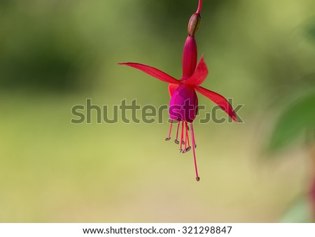 Red and pink Fuchsia with green background. #321298847