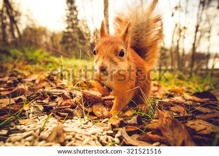 Squirrel red fur funny pets autumn forest on background wild nature animal thematic (Sciurus vulgaris, rodent) #321521516