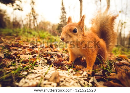 Squirrel red fur funny pets autumn forest on background wild nature animal thematic (Sciurus vulgaris, rodent) #321521528