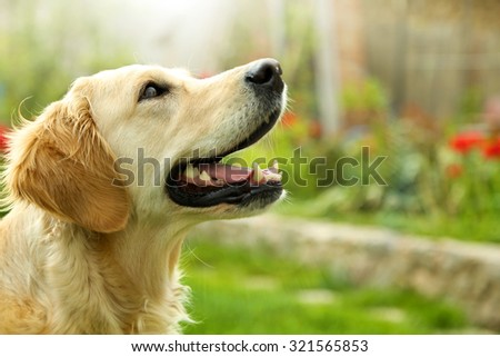 Adorable Golden Retriever on nature background Royalty-Free Stock Photo #321565853