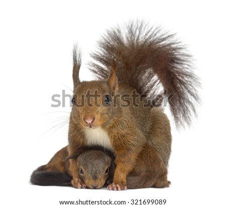 Mother Red squirrel and babies in front of a white background #321699089