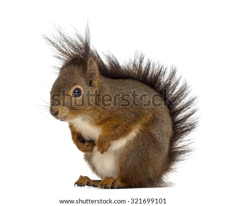 Red squirrel in front of a white background #321699101
