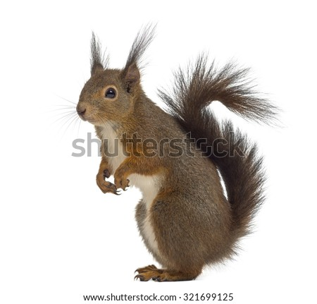 Red squirrel in front of a white background #321699125