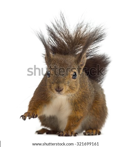 Red squirrel in front of a white background #321699161