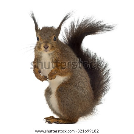 Red squirrel in front of a white background #321699182