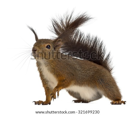 Red squirrel in front of a white background #321699230