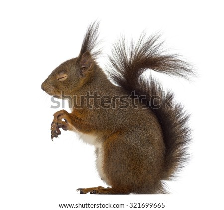 Red squirrel sleeping in front of a white background #321699665