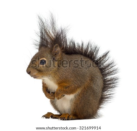 Red squirrel in front of a white background #321699914