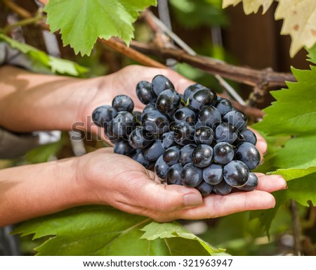Purple grape in the hands. Nature on the background. #321963947
