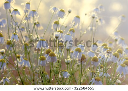 chamomile drug grows in nature #322684655