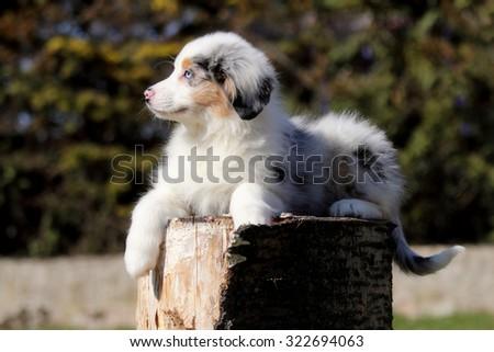 Australian Shepherd #322694063