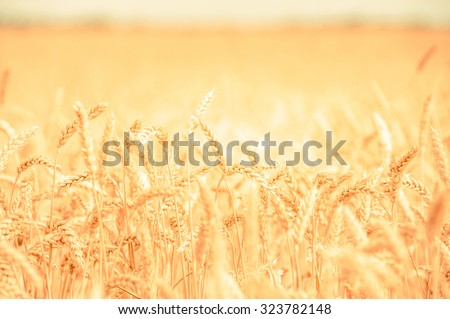 background, backdrop of  yellow ears on the beautiful golden wheat field #323782148