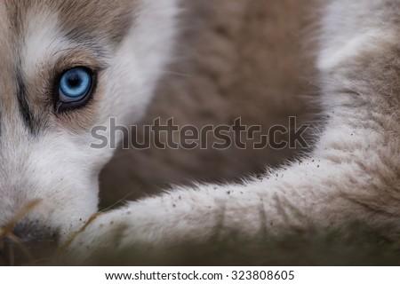 photo of beautiful husky dog with amazing blue eye #323808605