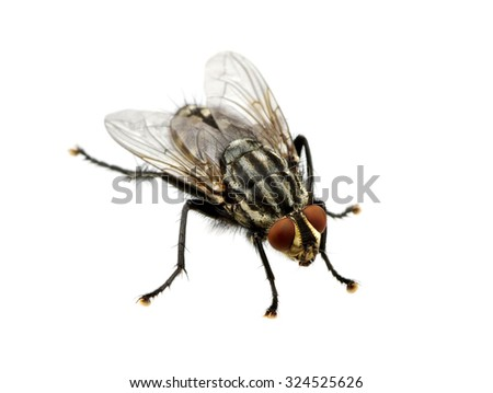 A macro shot of fly on a white background . Live house fly .Insect close-up Royalty-Free Stock Photo #324525626