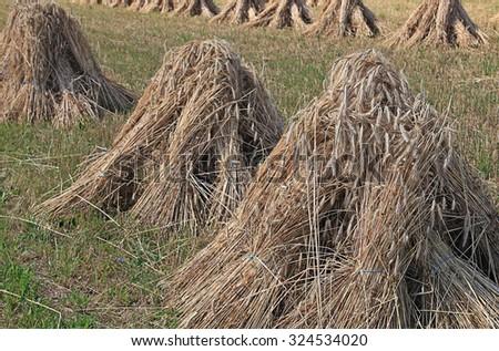 Grain field #324534020