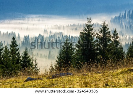 fir trees on a meadow down the will  to coniferous forest in foggy mountains of Romania #324540386