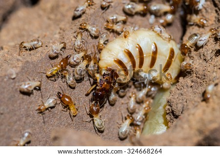 Queen termite surrounded by workers #324668264