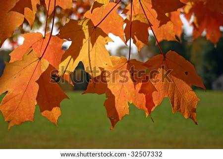 Orange and yellow leaves of sugar maple (Acer saccharum) backlit by the fall sun with green grass in the foreground #32507332