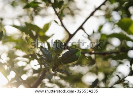 Fresh green bird cherry leaves. #325534235