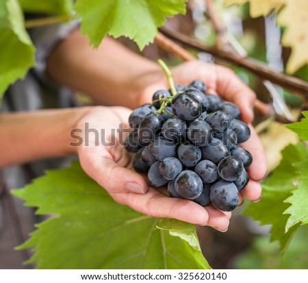 Purple grape in the hands. Nature on the background. #325620140