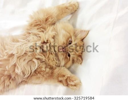 Persian kitten, 4 months old. #325719584