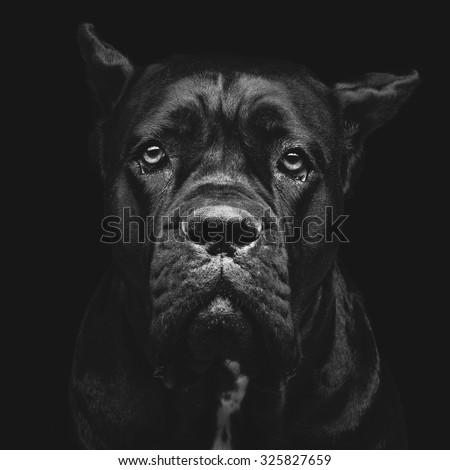 Closeup portrait of beautiful black Cane Corso female dog. Pure breed. Studio shot over black background. Square composition.