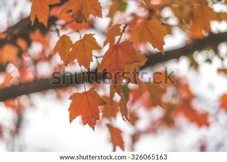 Maple leaves. #326065163