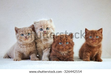 Portrait of British kittens, selective focus #326442554
