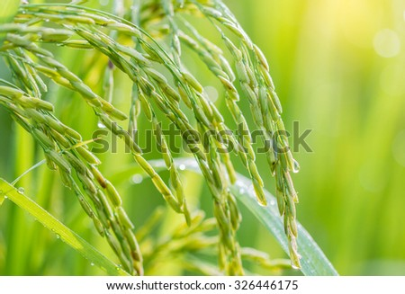 Growing rice in farm thailand. #326446175