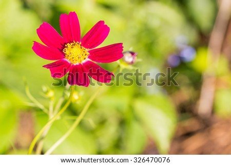 Cosmos red flower in daylight warm tone with blurred background. #326470076