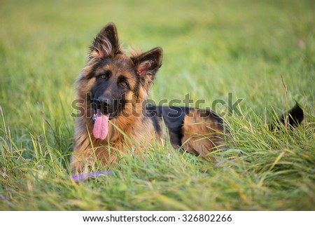 German shepherd dog lying outdoor #326802266