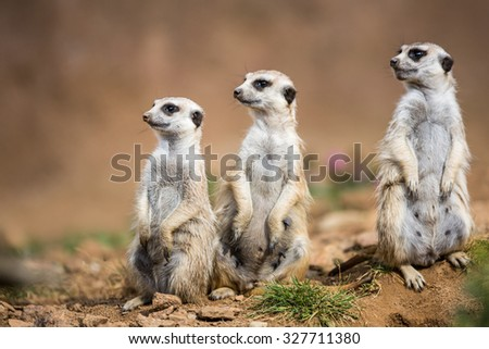 Watchful meerkats standing guard