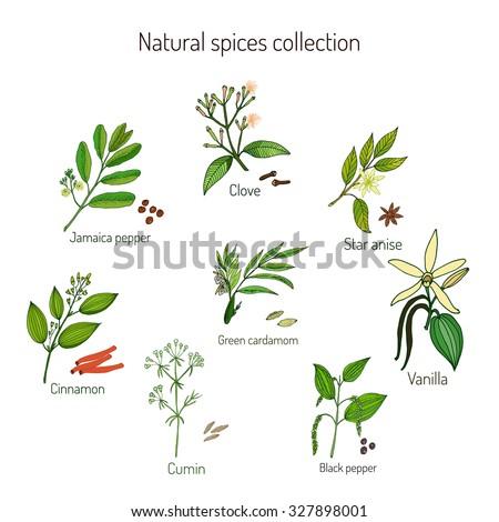 Natural spices collection: jamaica pepper, clove, cinnamon, cumin, green cardamon, black pepper, star anise, vanilla. Vector illustration #327898001