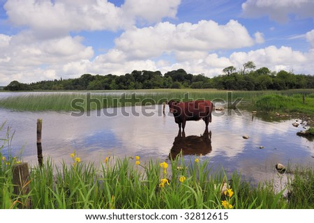 farm animal keeping cool during spell of hot weather in Ireland #32812615