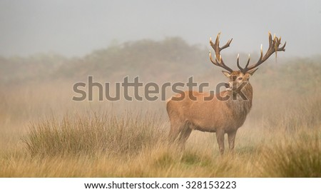 Red deer stag in the early morning mist